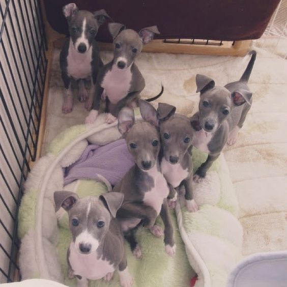 Adorable Italian Greyhound Puppies Check Out The Ears On One In Middle D Blue For