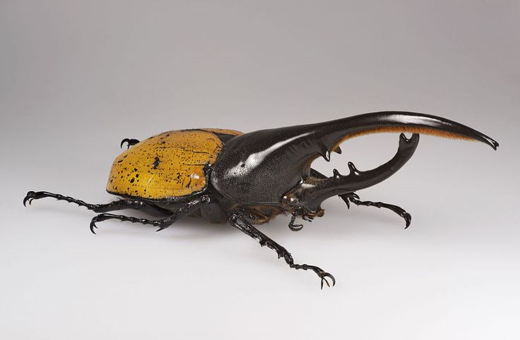 The Hercules beetle (Dynastes hercules) is the most famous and the largest of the rhinoceros beetles. It is native to the rainforests of Central America, South America, and the Lesser Antilles. The Hercules beetle being able to carry up to 850 times its body!