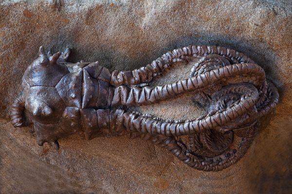 A fossilized Jimbacrinus Bostocki, I think they make pretty awesome fossils.