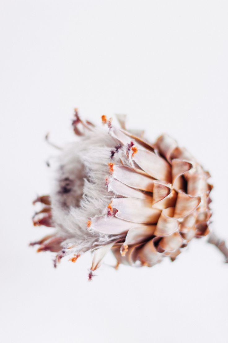 protea • bella foster