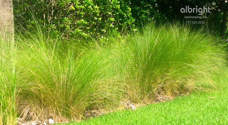 1000 images about plant list on pinterest sun privacy for Low growing ornamental grasses for sun