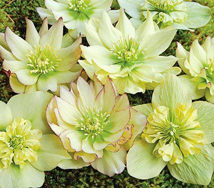 Common Yellow Garden Flowers 130 best helleborus images on pinterest | flowers garden, flower