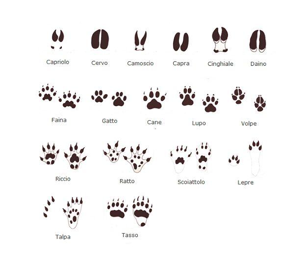 In questa guida voglio spiegarvi come riconoscere le impronte lasciate dagli animali nel fango o sulla neve. Molte impronte sono simili tra di loro e per una persona poco esperta possono sembrare difficili da distinguere. Tuttavia con un po' di allenamento e con qualche utile consiglio ...