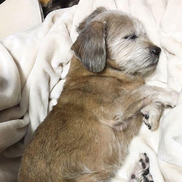 お気に入りの毛布の上で赤ちゃんみたいに寝るもんちゃん。きゃわいぃ〜〜長生きしておくれ。 #本日のもんちゃん #テリアミックス #ダックステリア #ヨークス #ダッキー #ミックス犬 #ミックス犬同好会 #愛犬 #実家犬 #dog #dogstagram #dogsofinstagram #dogsofinsta #doglover #terrier #terrierlove #terriermix #terriersofig