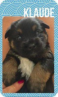 Mesa, AZ - Rottweiler/Shepherd (Unknown Type) Mix. Meet KLAUDE, a puppy for adoption. http://www.adoptapet.com/pet/17542631-mesa-arizona-rottweiler-mix