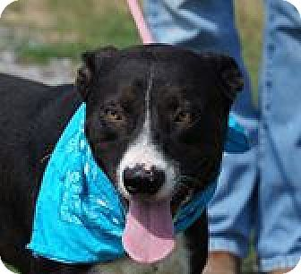 Karelian bear dog border collie mix - photo#6
