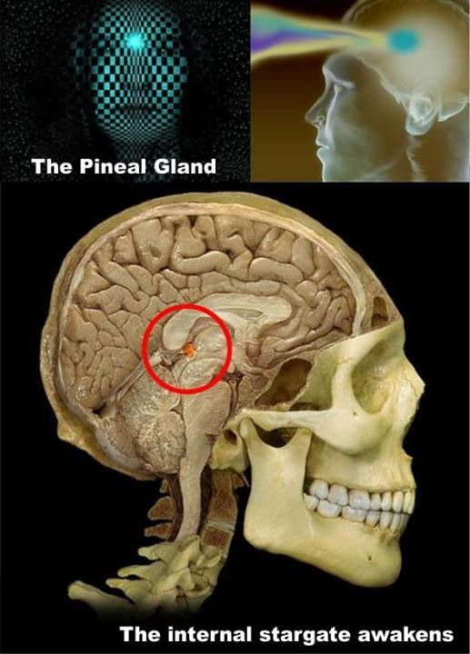 """Pineal gland - 3rd Eye  The secretory activity of the pineal gland is only partially understood. Its location deep in the brain suggested to philosophers throughout history that it possesses particular importance. This combination led to its being regarded as a """"mystery"""" gland with mystical, metaphysical, and occult theories surrounding its perceived functions."""
