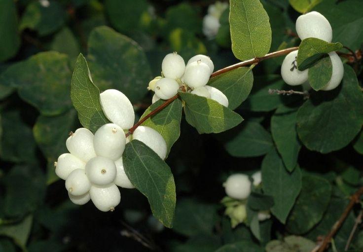 arbuste à baies décoratives-blanches-Symphorine