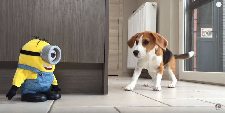 It looks likeLouie the beagle doesn't really like Minions. Most especiallywhen that Minion talks back to him!Stuart the Minion laughs, makes himself fall down and get back up on his feet like he's really trying to annoy Louie. While adorableMarie, Louie's sister seems to really want to be friends withStuart the funnyminion. Watch the video …