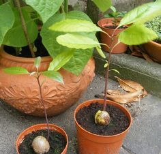 Avocado Pflanze selber ziehen | jK's Pflanzenblog