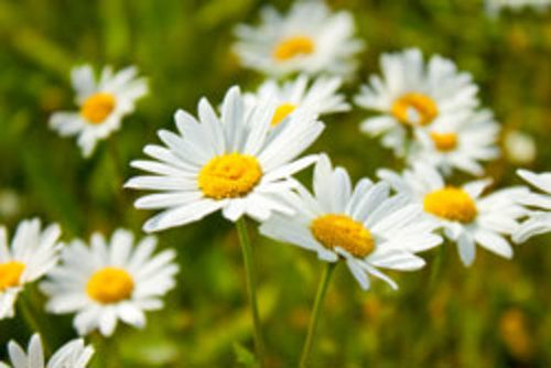 Margeriten pflanzen und pflegen – So wird's gemacht