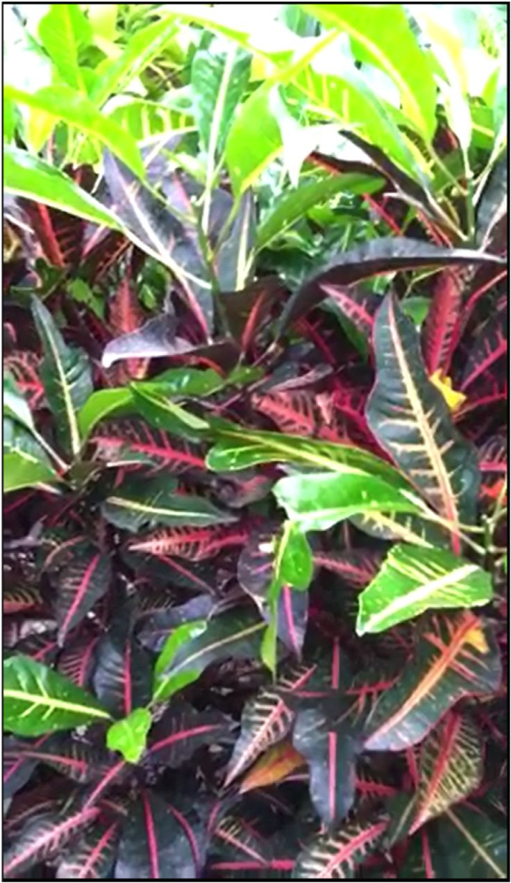 "Houseplant Care for Croton; Rushfoil, ""Plant with The Colorful Leaves"""