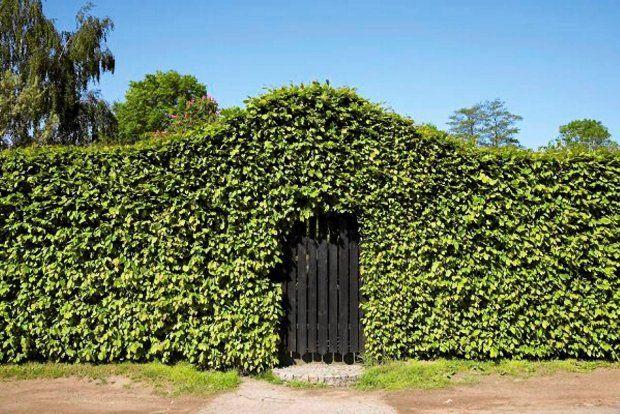 Rośliny polecane na żywopłot - grab pospolity (Carpinus betulus)