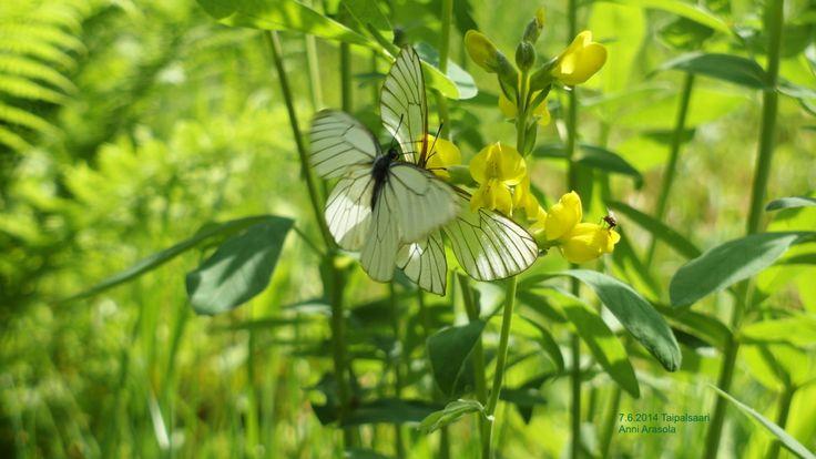 Pihlajaperhoset paritelee, Aporia crataegi Taipalsaari 7.6.2014