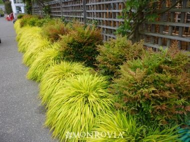 Hakoneckloa macra 'All Gold'. Ook wel genoemd: All Gold Japans Bos Gras, Halfschaduw! Niet evergreen, wel mooi in de winter, snoeien in februari/maart tot ongeveer 20 cm hoog.
