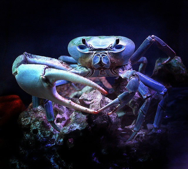 This is a land crab found in tropical and subtopical estuaries along the Atlantic coast of the Americas. The species varies in color from dark blue to brown or pale grey, and may grow to one foot in width and over one pound in weight.