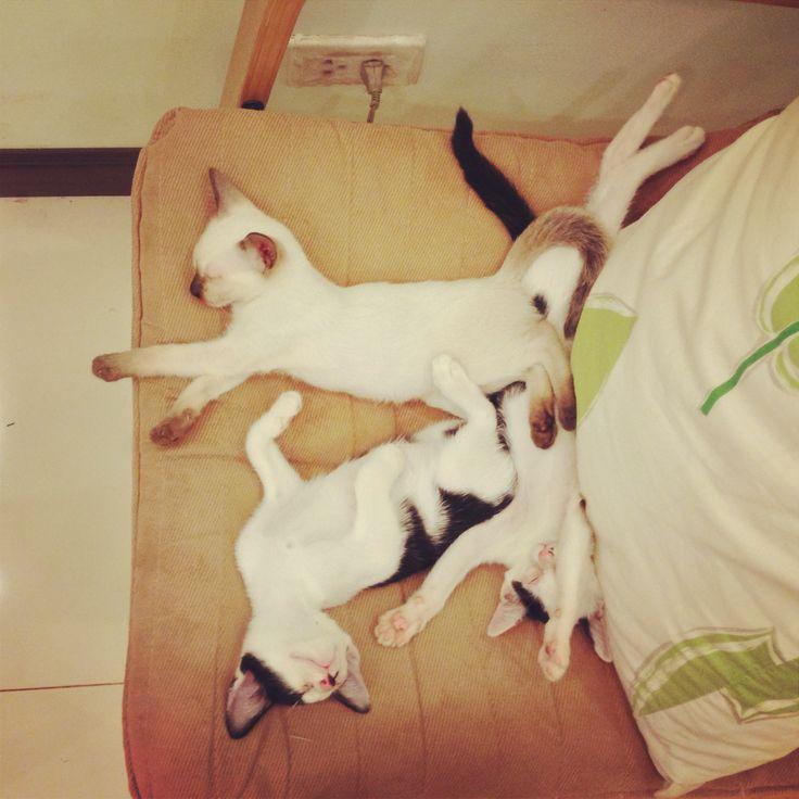 Cute Thai Siam Siamese Cat Cats Kitty Kitten Kittens Sleep แมว ล กแมว ไทย สยาม น าร ก นอน Udoncat Udon Udonthani แมว ล กแมว ส ตว น าร ก แมว