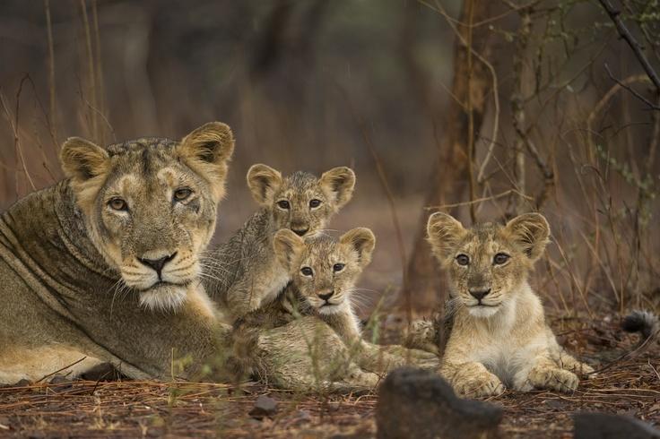 Big Cats An Amazing Animal Family Dvd