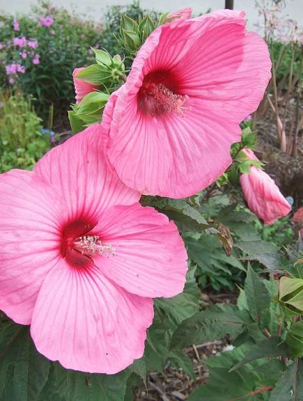 49 best images about hardy hibiscus on pinterest for Hardy flowering trees