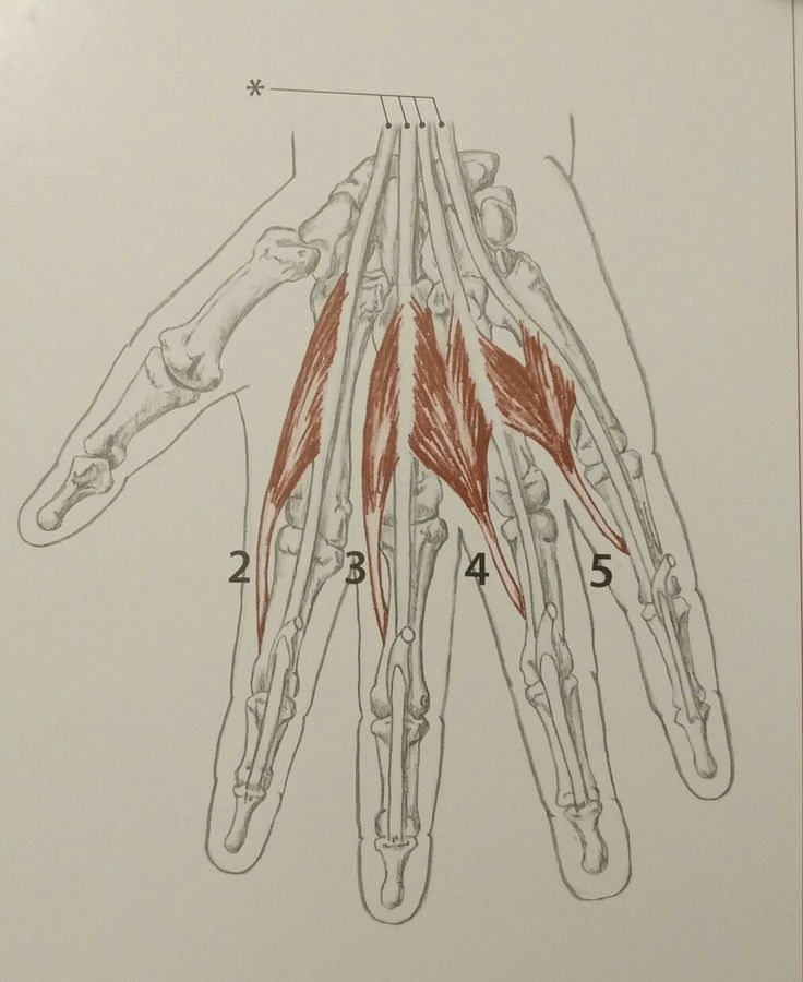 Lumbricals of the Hand