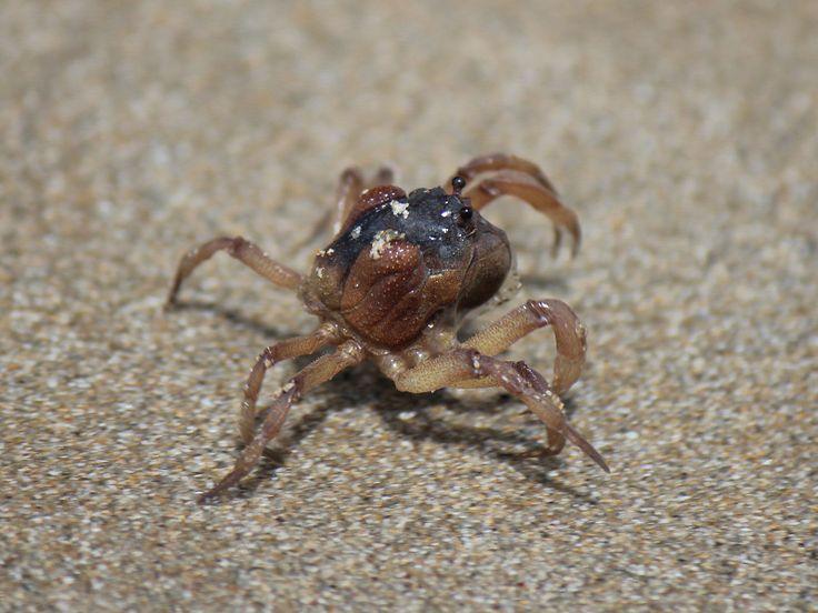 Sand Bubbler Crabs Australia