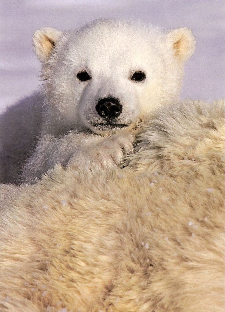 baby polar bear | Animalia | Pinterest
