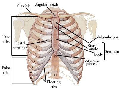 The rib cage is made of twenty four bones and twelve ribs. Description from anotomyworld.blogspot.com. I searched for this on bing.com/images