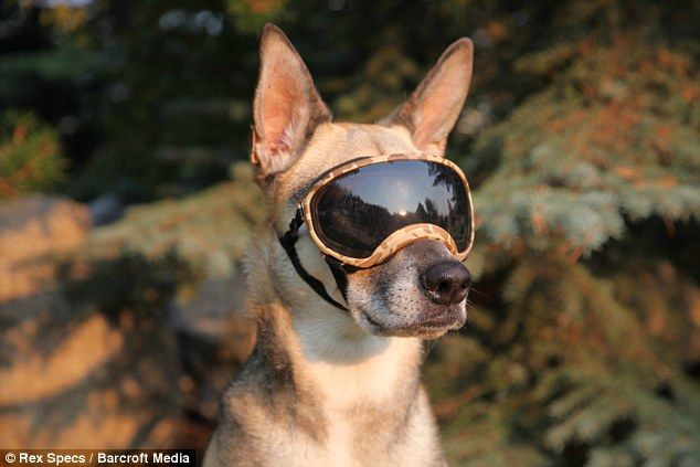 Would your dog wear these?  Eye protection for animals!