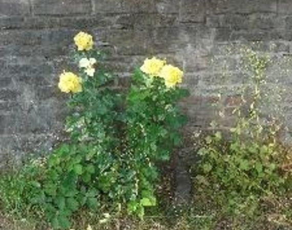 How to care for yellow roses-5562