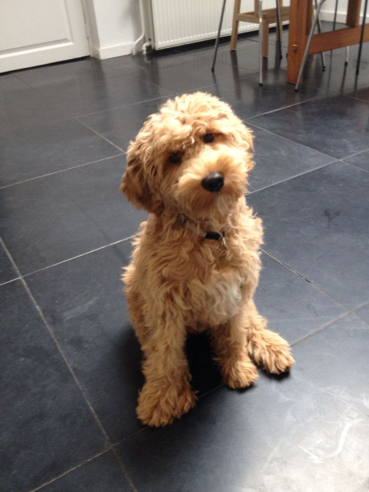 Labradoodle medium size, 15 weeks old :)