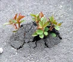 Image result for tree roots breaking through pavement uk