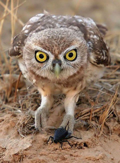 Little Owl (Athene noctua) with prey. Photo by Danny Laredo.