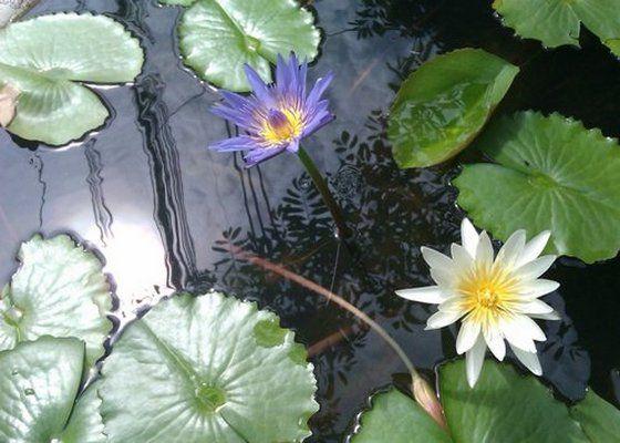 Blue-white-Lotus My FEV