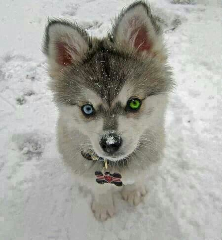Dog Breed With Two Different Colored Eyes