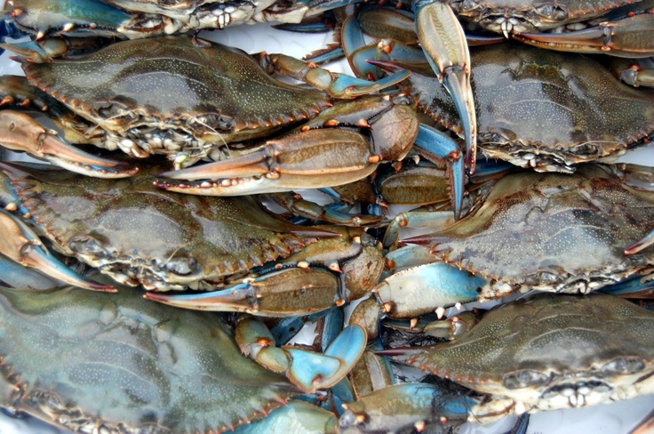 blue claw crab