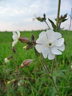 Silene latifolia White Campion,  Bladder campion