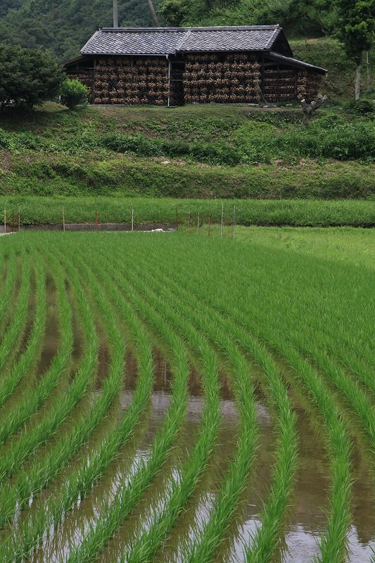 この玉葱小屋と田んぼがある風景はたまらんなー。 / 深緑の初夏 - 淡路島の一期幾会(旅館若潮ブログ)