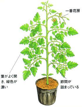 葉がよく開き、緑色が濃いそして、節間が詰まっているものが良い苗です。(トマト栽培)
