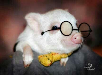 1000 Best Animals With Glasses Images On Pinterest