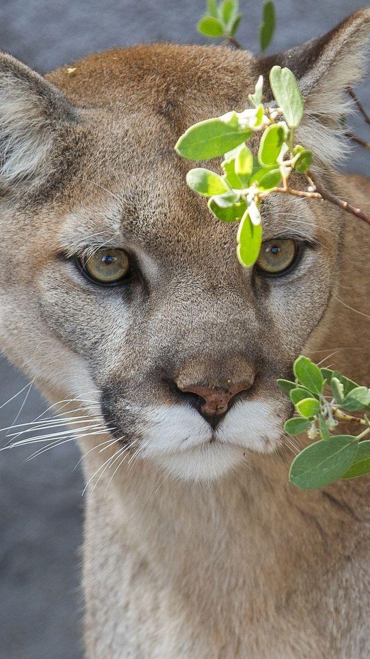 Cougar funny lion pics