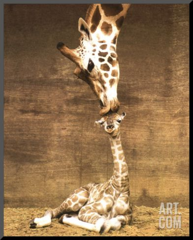 Mother baby giraffe