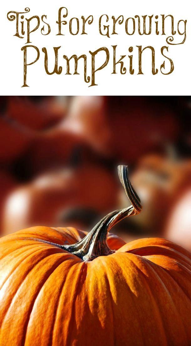 tips for growing pumpkins