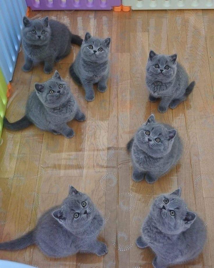 Pin van Marius Kinstaitis op British shorthair Katten en