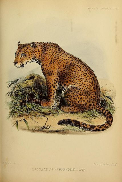 Leopardus hernandesiinow calledPanthera onca - the jaguar by BioDivLibrary on Flickr.  Proceedings of the Zoological Society of London..London :Academic Press, [etc.],1833-1965..biodiversitylibrary.org/page/37028023