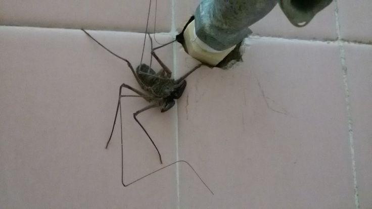 Visto che tra ragni e scorpioni in casa non ne abbiamo mai abbastanza, ecco che compare un nuovo amico, l'evoluzione di tutto ciò che non spereresti mai di trovarti in casa. Ecco una particol…