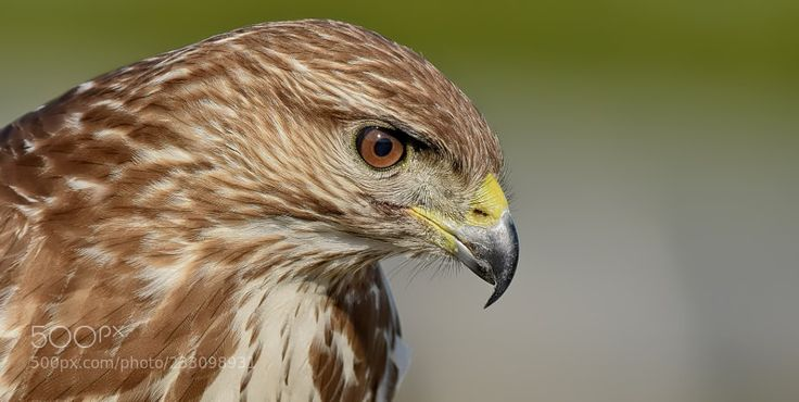 Common Buzzard by muratca