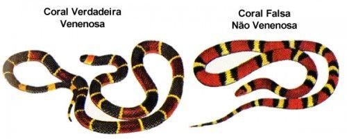 Cobra-Coral-Verdadeira-e-Falsa-2-500x200