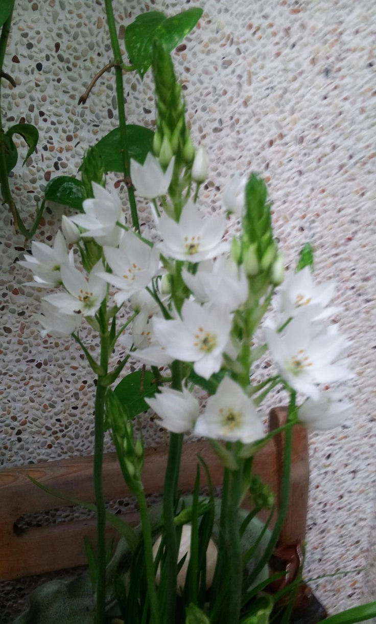 Wonder flower, Chincherinchee。