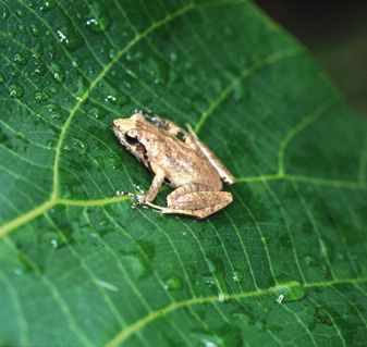 Romer's Tree Frog. Originally found in 1952 at Lamma Island, Hong Kong. Endangered.