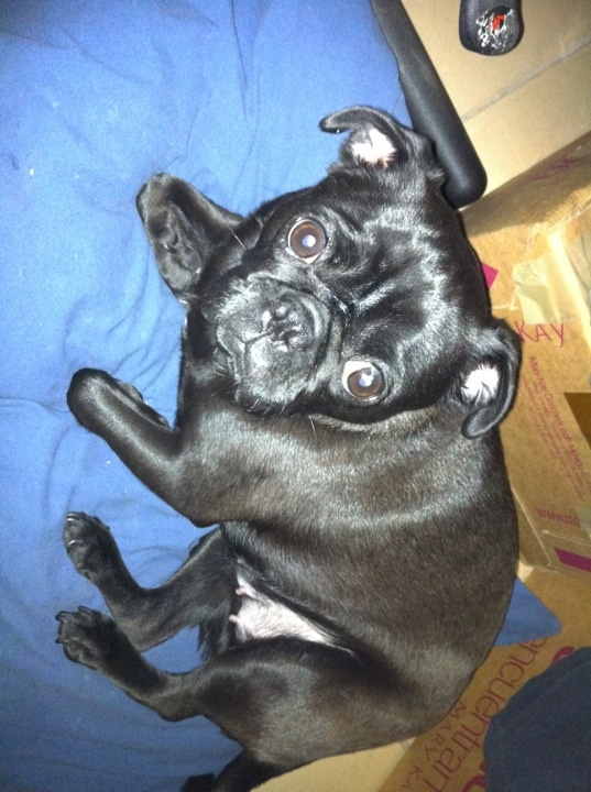 Dasha, pug black